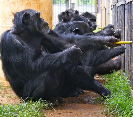 Chimpancés del Centro Nacional de Investigación de Primates Yerkes / Frans de Waal