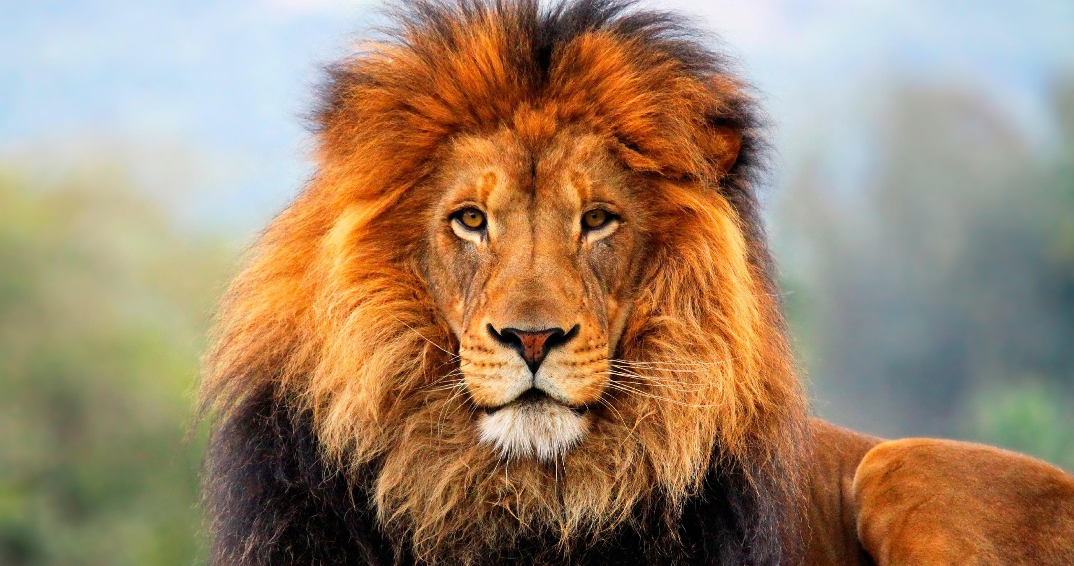 La caza del león pone en jaque a la especie - Radiomacondo