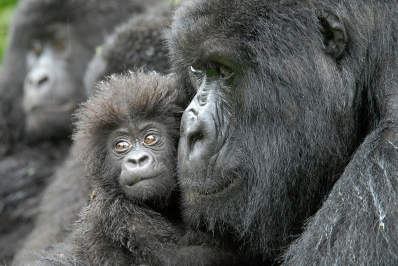 En 50 años los humanos causarán una extinción en masa de los primates - El-humano-causara-una-extincion-en-masa-de-los-primates-en-50-anos_image_380