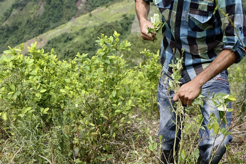 Campesinos del Catatumbo presentaron propuesta para sustitución de cultivos de uso ilícito - coca