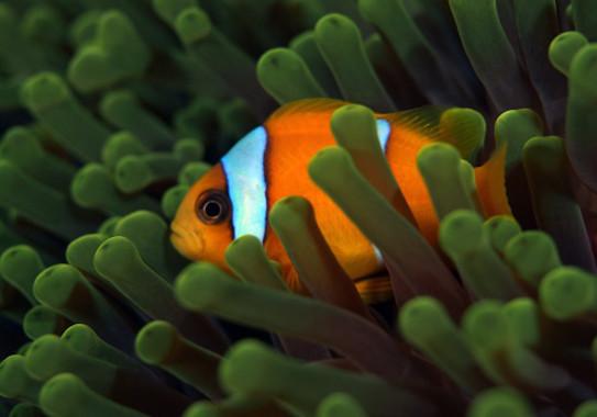Descubren la maquinaria genética que utiliza el pez payaso al cambiar de sexo - pez-payazo