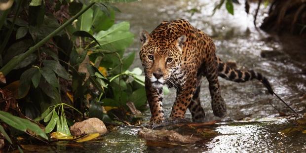 El jaguar, en peligro crítico con solo 64.000 ejemplares - jaguar