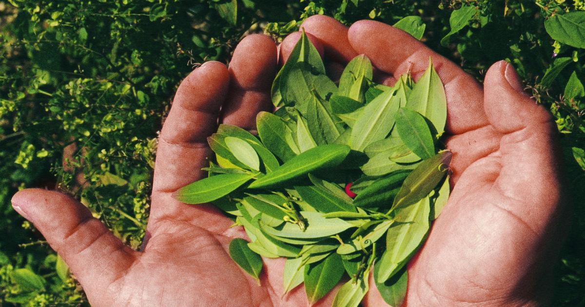 Campesinos del Catatumbo firman pacto de sustitución de cultivo de uso ilícito - coca