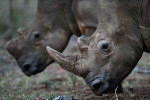 Polémica por una subasta de cuernos de rinoceronte en Sudáfrica - 5d363c6275651e97cd7a64e78c9f17ae48f2a3fc-300x200