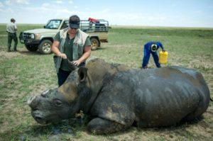Polémica por una subasta de cuernos de rinoceronte en Sudáfrica - e82996498b97036f52ab8f9550c739c14ce0849a-300x199