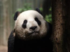 El hogar del panda gigante es más pobre ahora que hace treinta años - El-hogar-del-panda-gigante-es-mas-pobre-ahora-que-hace-treinta-anos_image_380-300x225