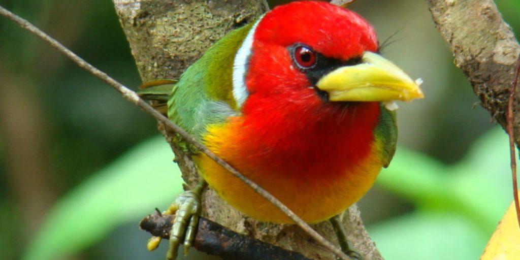 CONCURSO DE FOTOGRAFÍA DE AVES - colombia-birdfair-eubucco-bourcierii-torito-cabecirrojo-foto-carlos-mario-wagner-wagner-pq-1200x600-1024x512