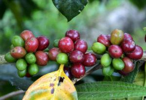 El cambio climático amenaza áreas de cultivo de café en Latinoamérica - 261e8148d4f666b6dbd43b1e139442d0ba92a30d-300x206