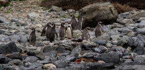 Minería versus pingüinos, la batalla que divide en Chile - 8ee5555652c2566b0014d6332da3d04b8eecfbfb-300x146