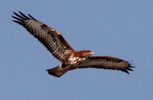 La captura y la caza ilegal amenazan todavía a las aves silvestres de Europa - La-captura-y-la-caza-ilegal-amenazan-todavia-a-las-aves-silvestres-de-Europa_image_380-300x197