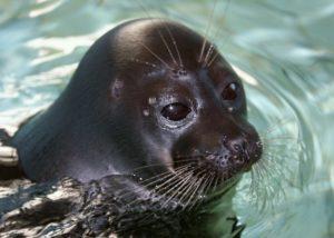Hallan unas 130 focas muertas a orillas del lago Baikal, en Rusia - db6083ca10c258bfacbab7b447097568c6ff9fd9-300x214