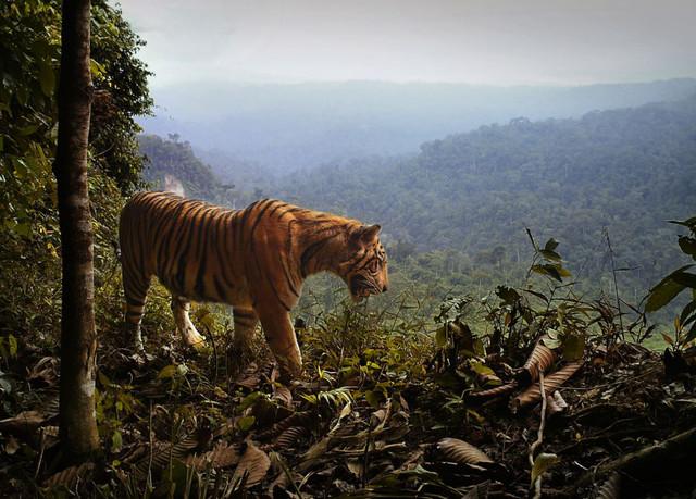 La destrucción de los bosques acorrala al tigre de Sumatra - La-destruccion-de-los-bosques-acorrala-al-tigre-de-Sumatra_image640_-1