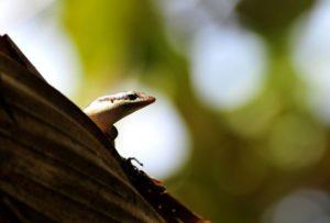 Tres especies de lagartijas de una isla australiana desparecieron - a43016b65fef21c0498256ed8bf2f8cf86ae839d-300x203