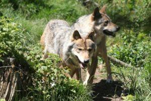 Francia autoriza el sacrificio de hasta 40 lobos en 2018 - 76f9661c0d07c8a22bd6b2a6b6a64607f94f2bd7-300x200