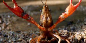 Los científicos recomiendan no reformar la normativa de especies invasoras - th_1cce678baa2865fe866ba90e481edd63_Cangrejo-rojo-Miguel-Clavero-IPE-CSIC-300x150