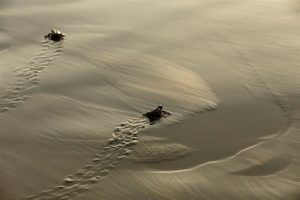 Las tenistas del Abierto Mexicano liberan tortugas en Acapulco - tortugas-liberación-méxico-300x200